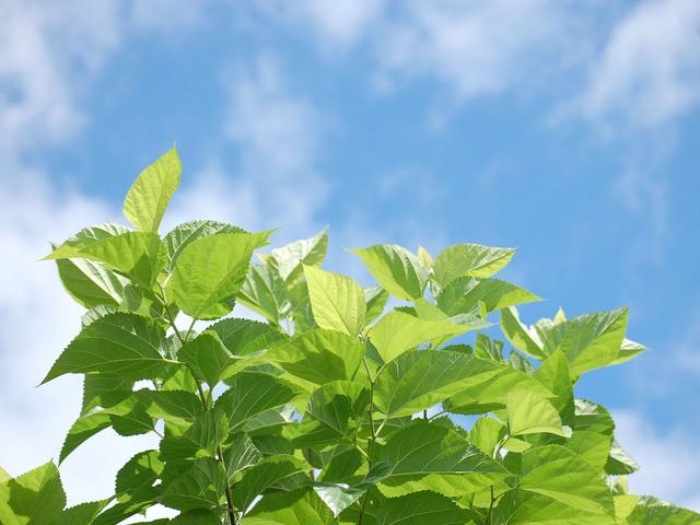 桑の葉と夏空