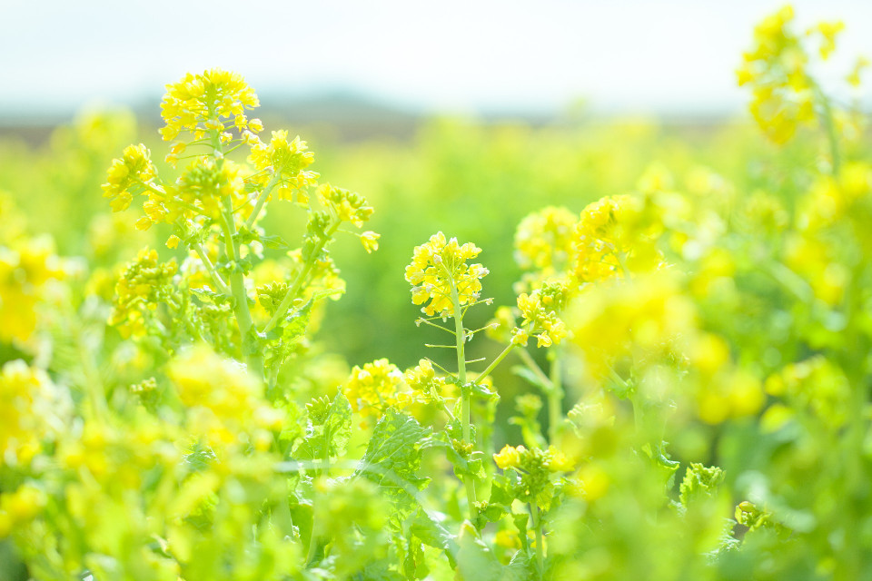 春の菜の花