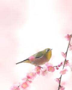 枝垂れ桜とめじろ