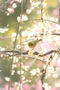 梅とメジロ