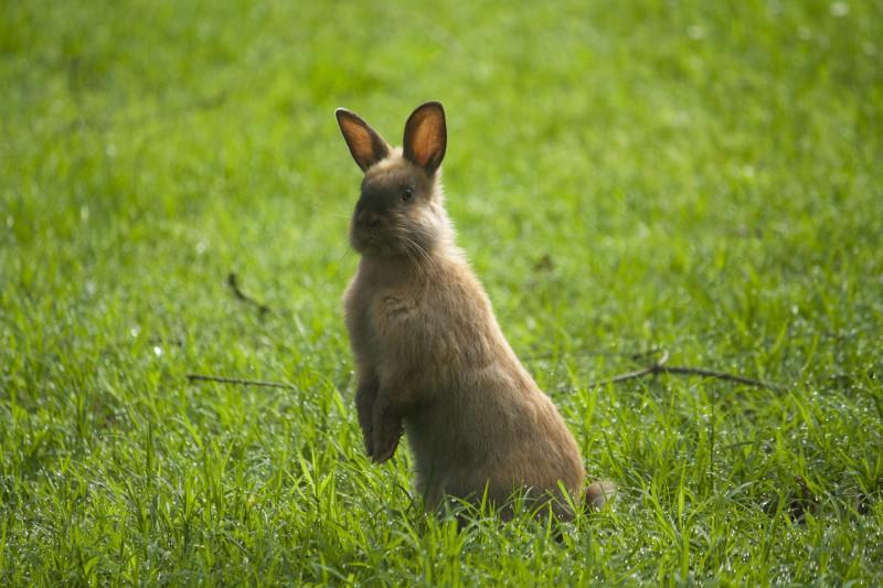 芝生に立つうさぎ