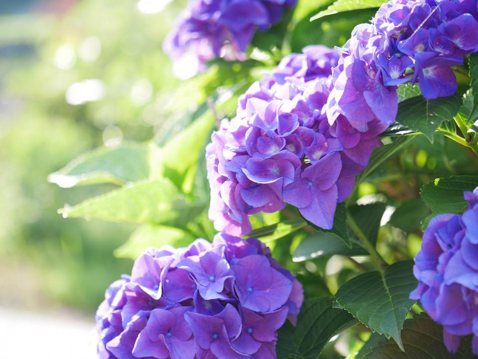 梅雨を彩る紫陽花